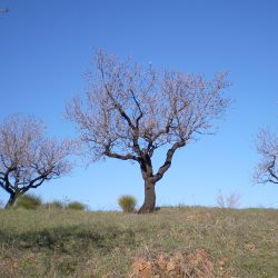 Almond trees in Spring