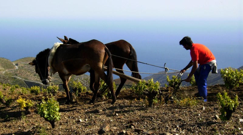 Mules working the land